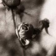 Mystic Rose Poster