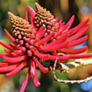 Naked Coral Tree Flower Poster