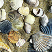 Nantucket Shells Poster