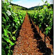 Napa Rows Of Grapes Poster