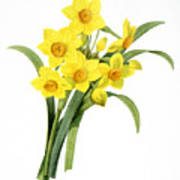 Narcissus (n. Tazetta) Poster
