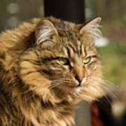 Nari A Maine Coon Cat Poster
