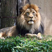 National Zoo - Luke - African Lion Poster