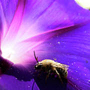 Native Bee On A Purple Flower Poster