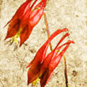 Native Virginia Columbine Poster