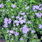 Natural Bush With Purple Small Flowers. Poster