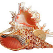 Natural Shell Collection On White Poster