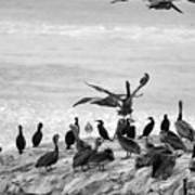 Nature Pelicans Rock  Poster