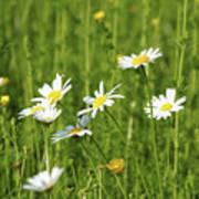 Nature Spring Scene White Wild Flowers Poster