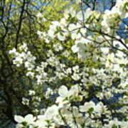 Nature Tree Landscape Art Prints White Dogwood Flowers Poster