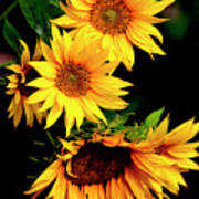 Natures Sunflower Bouquet Poster