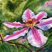 Nelly Moser Clematis Poster