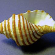 Neptune Whelk Seashell Poster