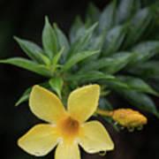 Nerium Oleander In The Rain Poster