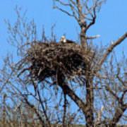 Nesting Bald Eagle Poster