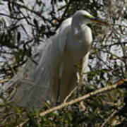 Nesting Egret Poster