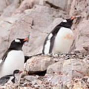 Nesting Gentoo Penguins Poster