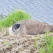 Nesting Goose Poster