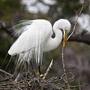 Nesting Great Egret Poster