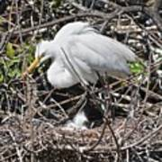 Nesting Great Egret With Chick Poster
