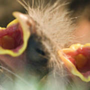 Nesting House Finch Chicks Carpodacus Poster by Rich Reid
