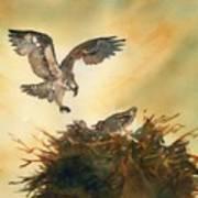 Nesting Ospray Poster
