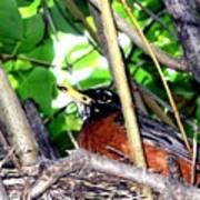 Nesting Robin Poster