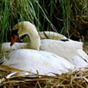 Nesting Swans Poster