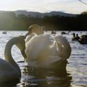 Duddingston Swan 11 Poster