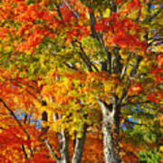 New England Sugar Maples Poster