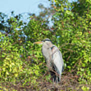 New Nest For Great Blue Heron Poster