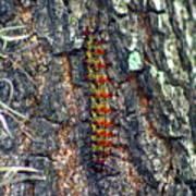 New Orleans Buck Moth Caterpillar Poster