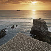 new zealand gannet colony at muriwai beach ,gannet fly from Muri Poster