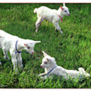 Newborn Goats Poster