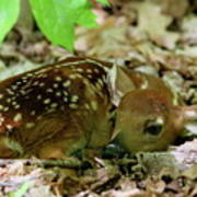 Newborn White-tailed Deer Fawn Poster