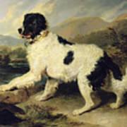 Newfoundland Dog Called Lion Poster by Sir Edwin Landseer