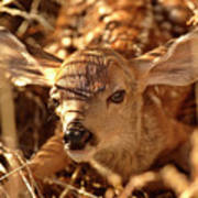 Newly Born Fawn Hiding In A Saskatchewan Field Poster