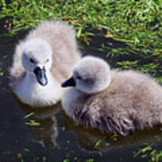 Newly Hatched Cygnets At Abbotsbury Poster
