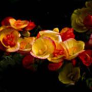 Night Begonias Two Poster
