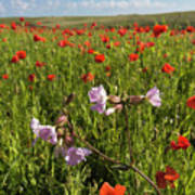 Night Flowering Catchfly And Poppies Poster