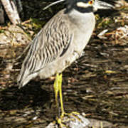 Night Heron Standing On A Rock In Key West Poster