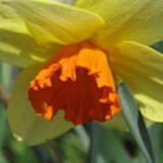Nodding Daffodil Poster