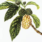 Noni Fruit Art Poster