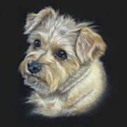 Norfolk Terrier 'hattie' Poster