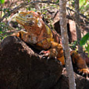 North Seymour Island Iguana In The Galapagos Islands Poster