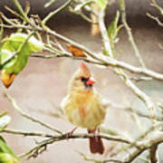 Northern Cardinal Female - Digital Painting Poster