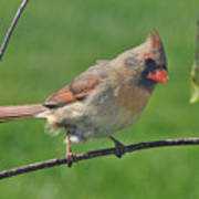 Northern Cardinal -female Poster