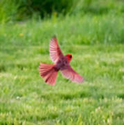 Northern Cardinal In Flight Poster