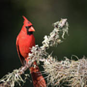 Northern Cardinal In Repose Poster