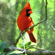 Northern Cardinal Proud Bird Poster